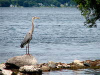 Heron on Rice Lake