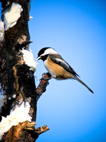 Black Capped