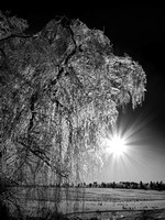 Ice Covered Willow